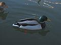 Steveston-duck2.jpg