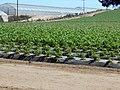Strawberry fields near Sunset Beach (21376401909).jpg