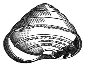 Strobilops labyrinthicus (Say, 1817)