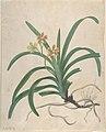 "Study of an Orchid, ""Vanda Roxburgia"" MET DP806036.jpg"