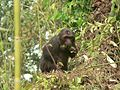 Stump tailed Macaque P1130751 20.jpg