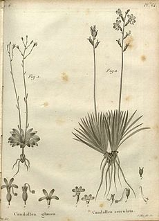 <i>Stylidium glaucum</i> species of plant