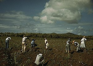 Sugar production in the Danish West Indies - Sugar farmers in Bethlehem, Saint Croix in December 1941