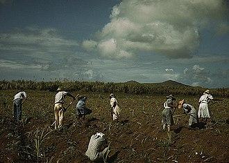 Sugar production in the Danish West Indies - Sugar farmers in Bethlehem, Saint Croix in December 1941