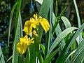 Sumpf-Schwertlilie (Iris pseudacorus) - 170521 (34786260616).jpg
