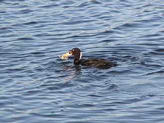 Surf scoter - With crab