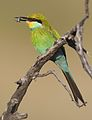 Swallow-tailed bee-eater, Merops hirundineus, at Kgalagadi Transfrontier Park, Northern Cape, South Africa (33724174333).jpg