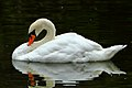 Swan - Stanborough Lakes (9899125116).jpg