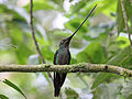 Sword-billed Hummingbird RWD2.jpg