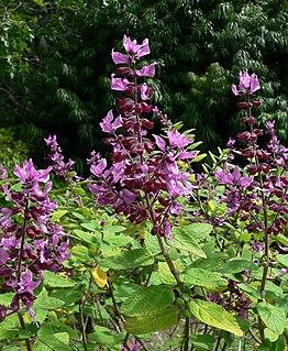 <i>Syncolostemon</i> genus of plants