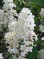 Syringa vulgaris-09.jpg