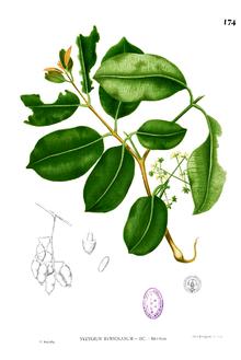 Jamblang (Syzygium cumini)
