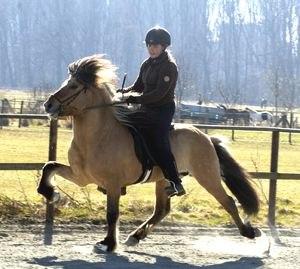 Ambling gait - An Icelandic horse performing a rapid ambling gait known as the tölt