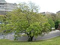 Taban Park Botanical nature trail. Japanese pagoda tree (Sophora japonica). - Budapest.JPG