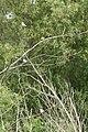 Tachycineta bicolor 3654.JPG