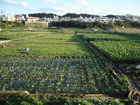 Taimo ginowan okinawa.jpg