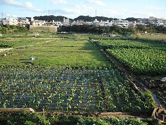 Ginowan, Okinawa - Taimo taro fields in Ginowan