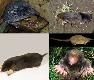 Talpidae family of small insectivorous mammals