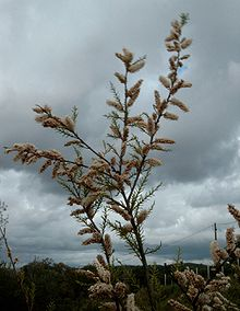 a drought-resistant tamarix tree pictured under storm clouds