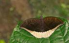 Tanaecia lepidea in Kadavoor.jpg