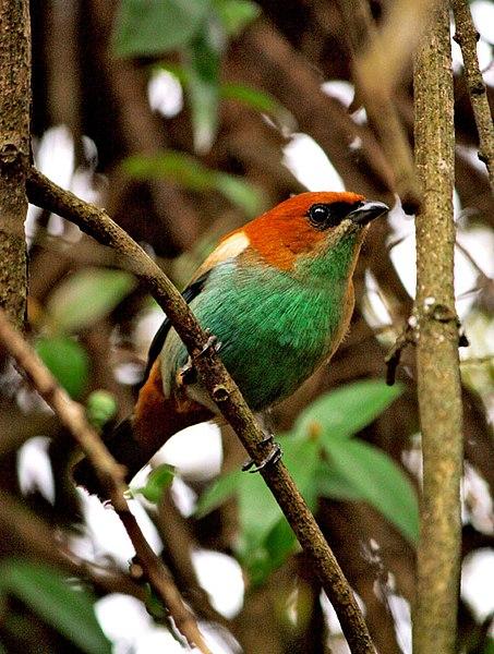 Ficheiro:Tangara preciosa -perching on a branch-8.jpg