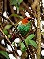 Tangara preciosa -perching on a branch-8.jpg