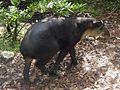 Tapir male walks away dragging penis.jpg
