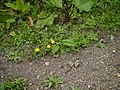Taraxacum officinale (7856510692).jpg