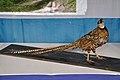 Taxidermied Reeves's Pheasant - Palta - North 24 Parganas 2012-04-11 9593.JPG