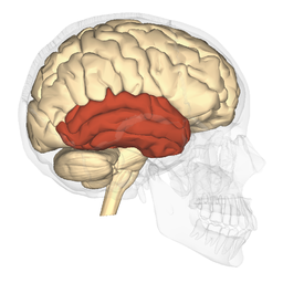 Temporal lobe - lateral view