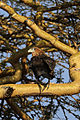Terathopius ecaudatus, Solio Ranch, Kenya 2.jpg
