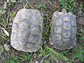 Testudo graeca female left, male right 2.jpg