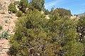 Tetraclinis articulata kz02 Morocco.jpg