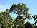 Tetrameles nudiflora habit (4).jpg