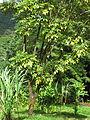 Tetraplasandra hawaiensis in Lyon Arboretum.jpg