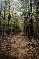 Texel - De Dennen - Dunningsweg - View SW - Budding Beech Leaves.jpg
