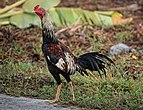 Thai Game chicken - white head 4.JPG