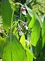 Thalia geniculata.JPG