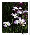 The Iris (22) (8096410086).jpg
