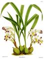The Orchid Album-02-0012-0051-Coelia bella.png