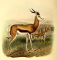 The book of antelopes (1894) Antidorcas euchore.png