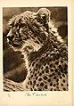 The cheetah. portraits at the zoo. 1915.jpg