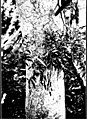 The indigenous trees of the Hawaiian Islands (1913) (20538003118).jpg