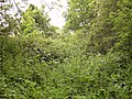 Thick overgrowth - geograph.org.uk - 460412.jpg