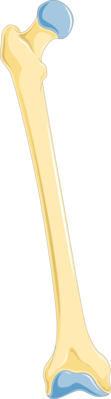 Thigh bone - Femur 1 -- Smart-Servier.png
