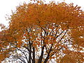 This is a fall tree.JPG