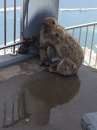 Barbary macaques in Gibraltar - Macaques with a Dairy Milk chocolate bar, having stolen it from a tourist's bag in July 2016.