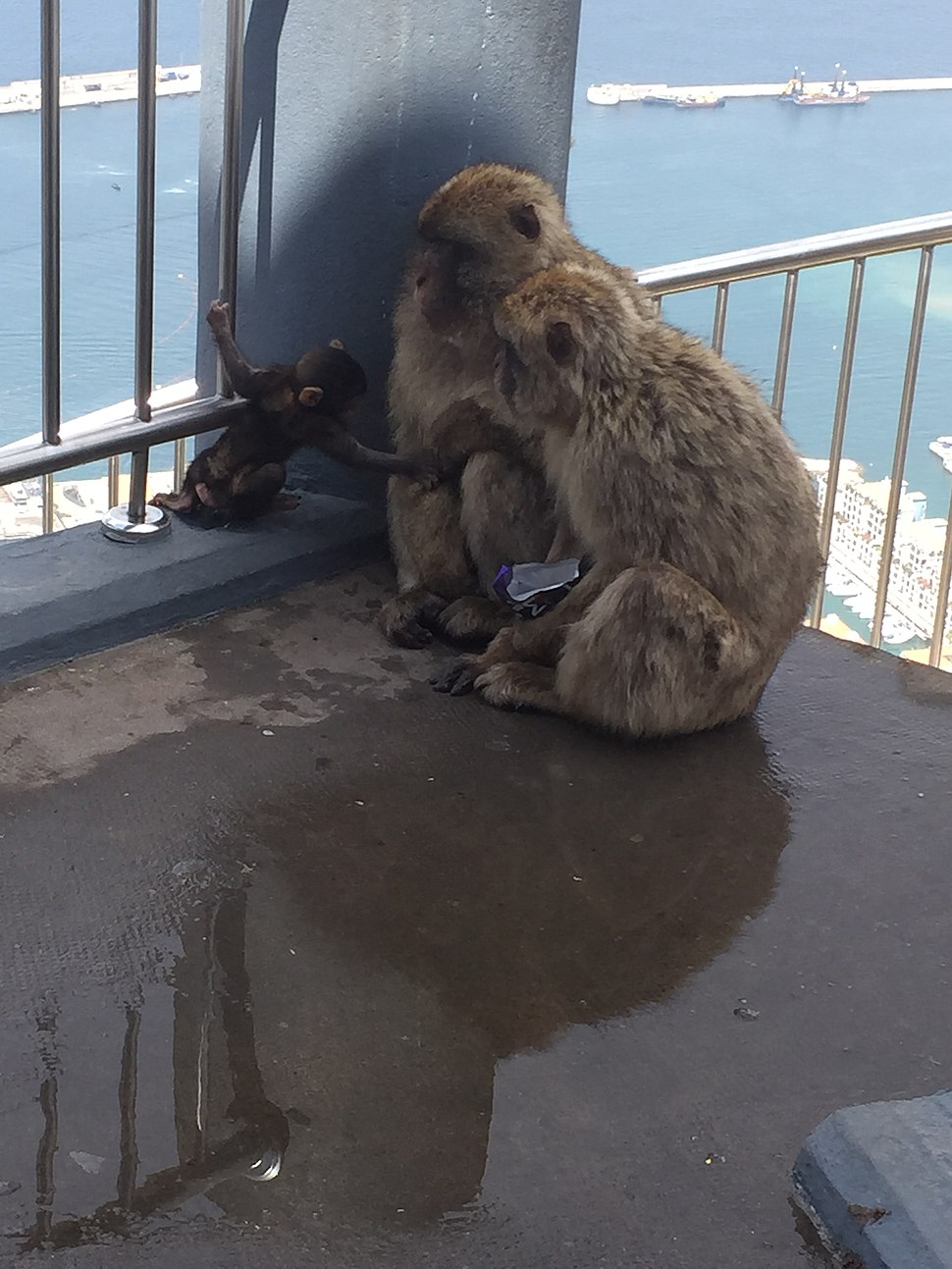 Three Gibraltar macaques with stolen Dairy Milk chocolate wrapper