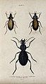 Three insects. Coloured engraving by W. H. Lizars. Wellcome V0020754ER.jpg