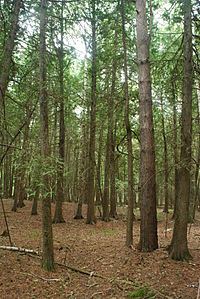Thuja occidentalis forest 2 Wisconsin.jpg